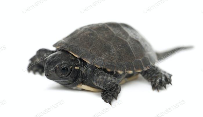 European pond turtle, also called the European pond terrapin, Emys orbicularis