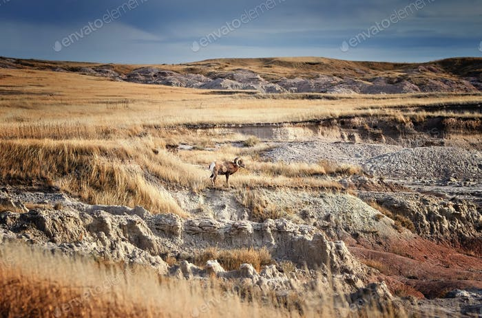 Bighorn Sheep with large curving horns in Badlands National Park