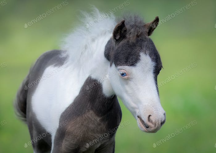 American Miniature Horse. Portrait close up of pinto foal with b