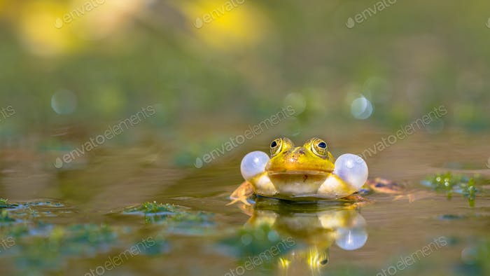 Croaking Green frog