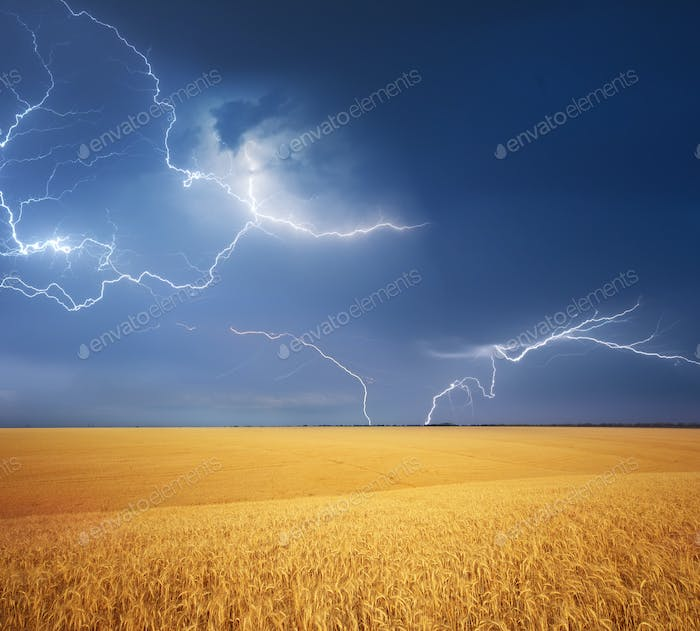Meadow of wheat harvest and rainy weather.