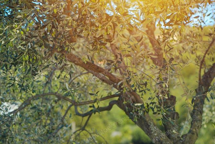 Green olive fruit tree