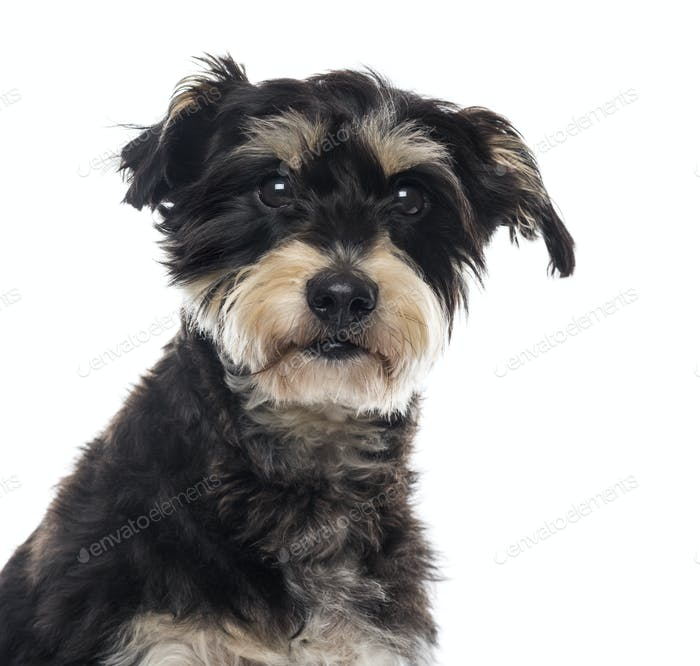 Close-up of a Griffon in front of a white background