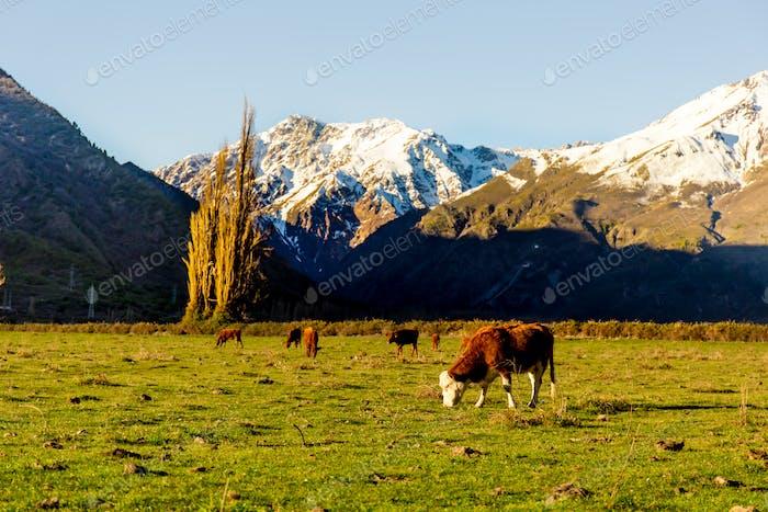 Argentinische chilenische patagonische Landschaft mit frei weidenden Kühen in der Nähe eines Flusses. Gruppe von Kühen in