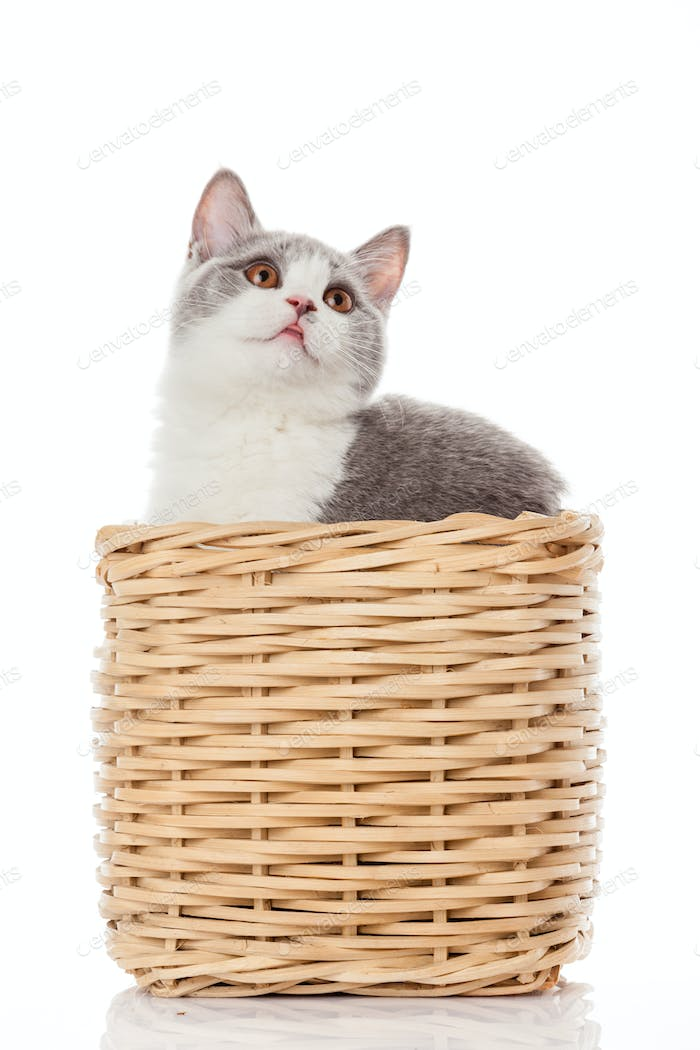 British kitten  in  box.  cute kitten on white background