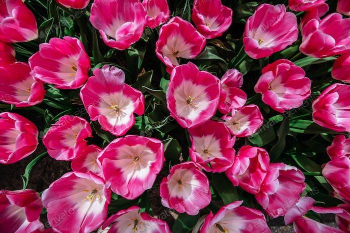 Blumenfeld mit bunten Tulpen. Tulipa Innuendo.