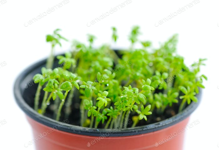 Fresh garden cress (LEPIDIUM SATIVUM)