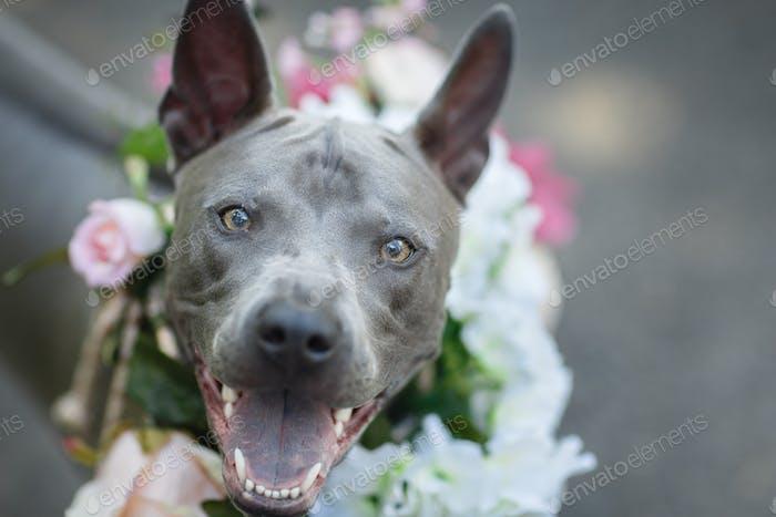 Thai Ridgeback Hund in Blumenkranz