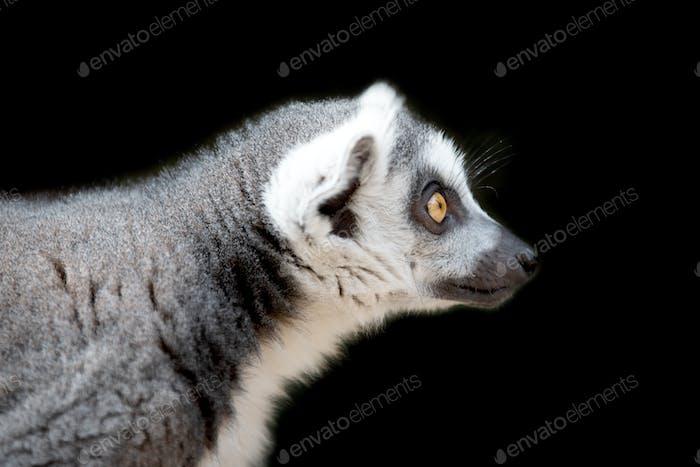 Lemur portrait on black background