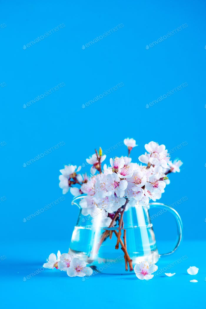 Cherry blossom in a glass teapot on a sky blue background with copy space. Color block object