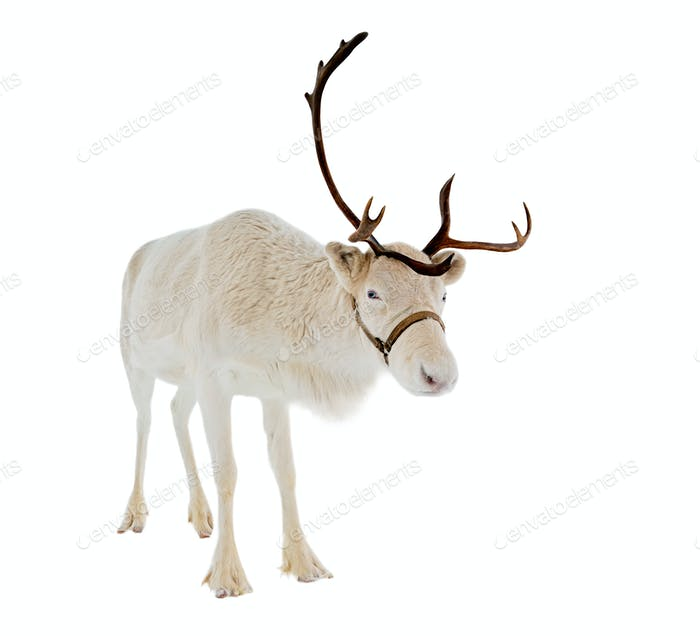 reindeer in front of a white background