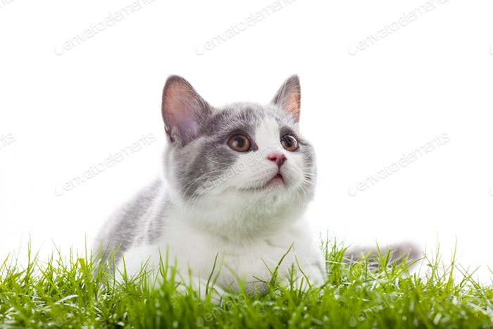 young cat in the grass.  Small gray kitten