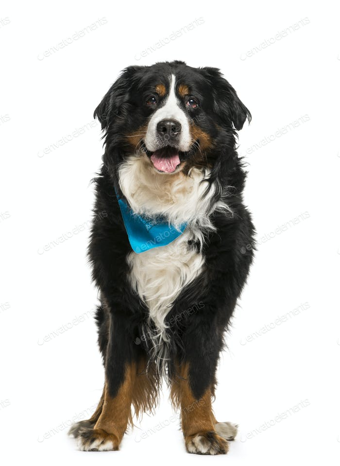 Bernese Mountain Dog wearing a blue scarf, cut out
