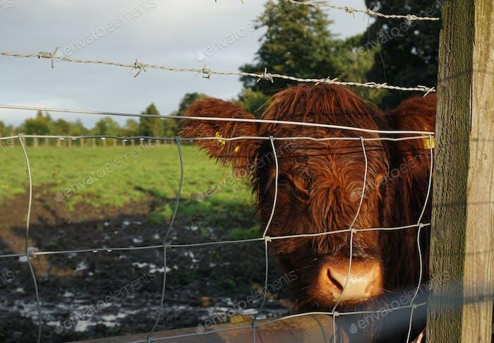 Pelzige Hochland-Rinder
