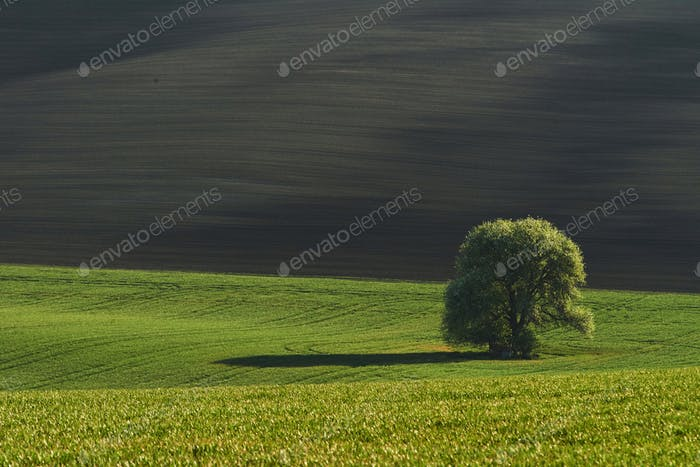 Thumbnail for Baum auf grünem Feld in Mähren. Schöne Natur. Ländliche Szene