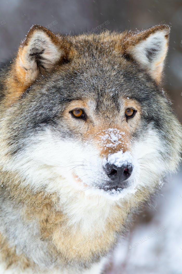 Close-up of focused wolf stands in beautiful and cold winter forest
