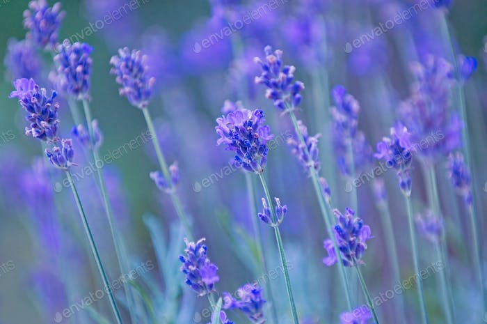 Nature background - lavender