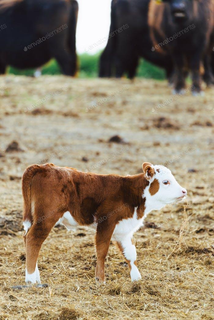 Calf in the farm