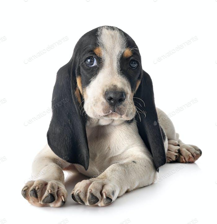 puppy bernese Schweizer Laufhund