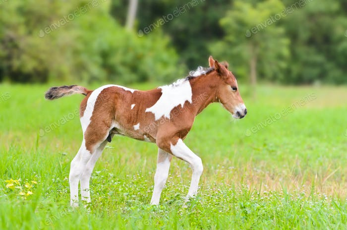 Cute baby horse walking in the meadow