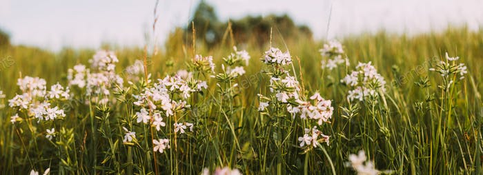 Panoramic View Of Pink Flowers Of Saponaria Officinalis On Field In Summer Day