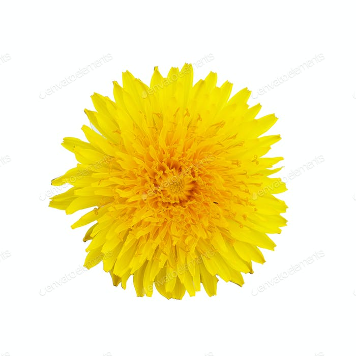 Single yellow dandelion flower