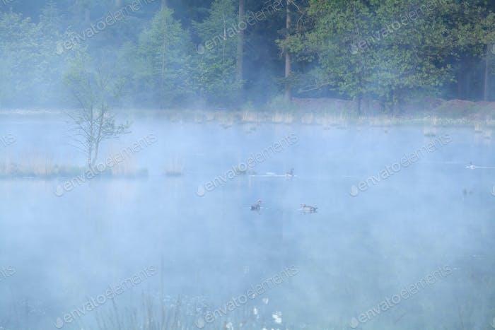 wild goose on lake during foggy morning