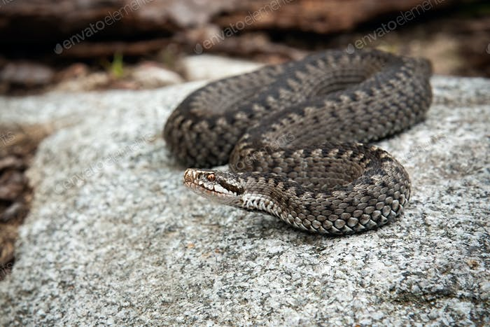 Poisonous common viper lying on a stone and basking