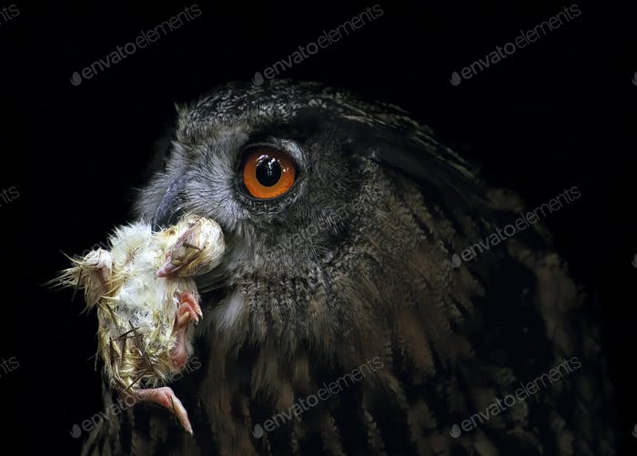Small Snack - Eagle Owl Eating Small Chicken