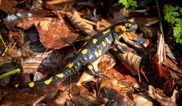 Europaean fire salamander (Salamandra salamandra) in natural environment