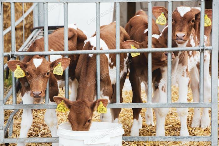 Group of Guernsey calves in a metal pen on a farm.