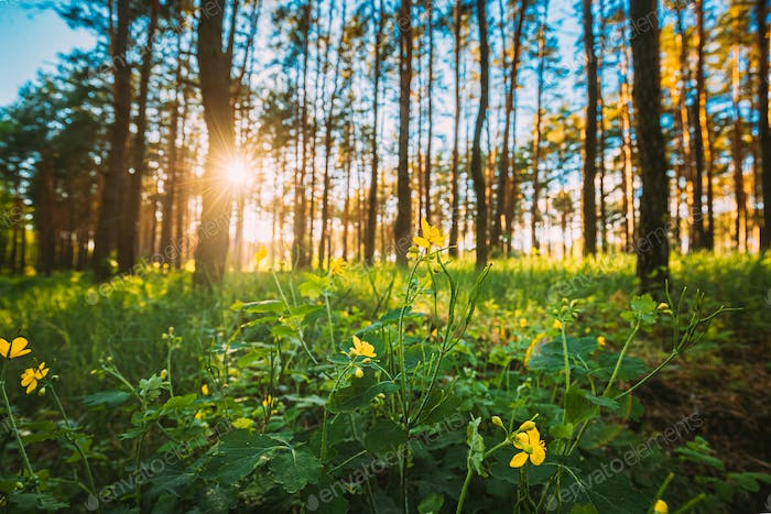 Sunset In Green Spring Forest. Green Plant Ranunculus Acris With Yellow Flowers On Background Tall