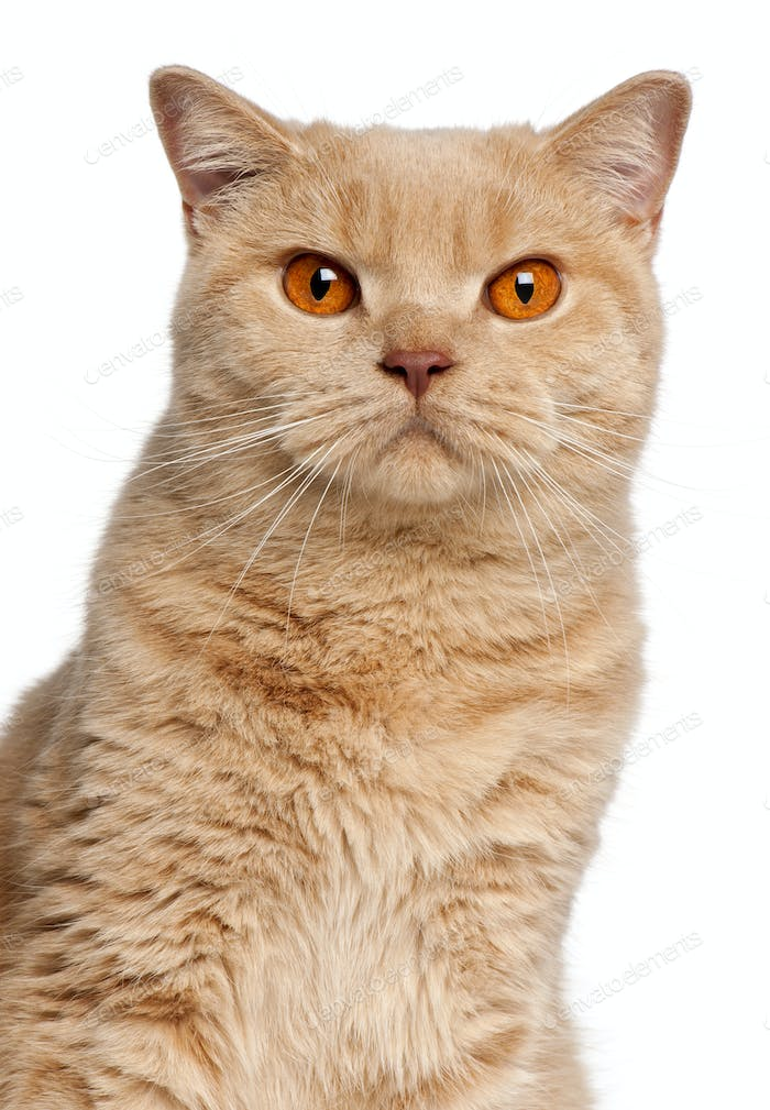 Ginger British Shorthair cat, 1 year old, portrait in front of white background