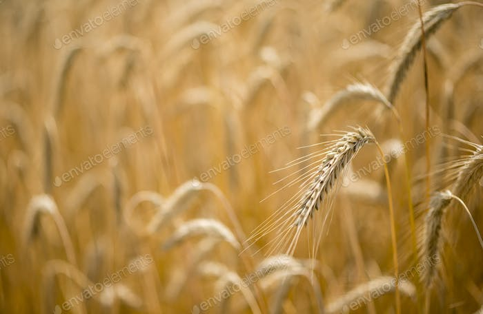 Italian golden wheat cultivation.