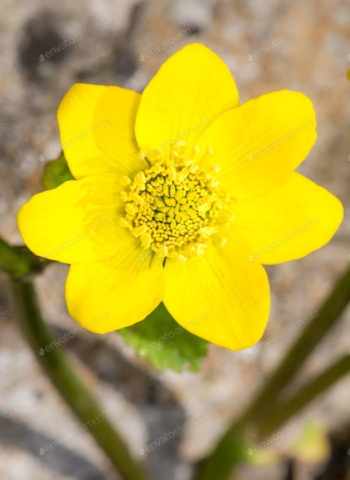 Gelbe Sumpfblume Ringelblume Blüte