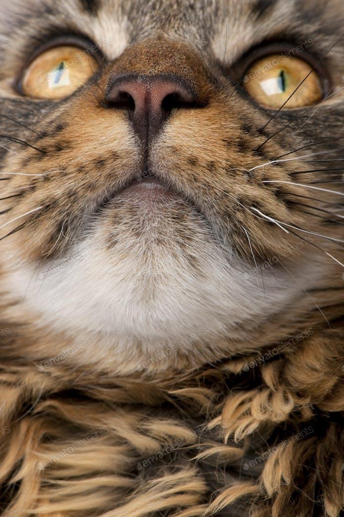 Nahaufnahme von Maine Coons Gesicht mit Schnurrhaare, 7 Monate alt