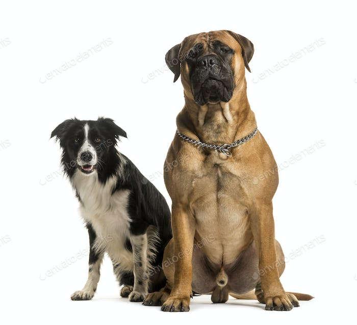 Two dogs sitting together, cut out