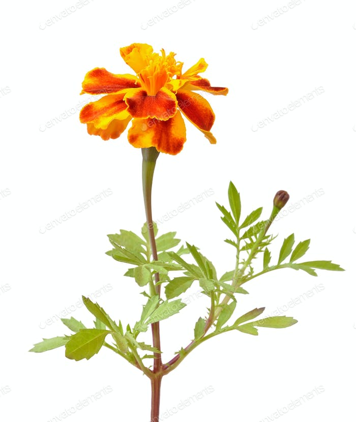 Tagetes flower isolated on white background