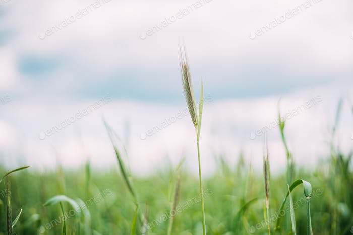 Young Wheat Shoots Close Up. Wheat Sprouts In Spring Season