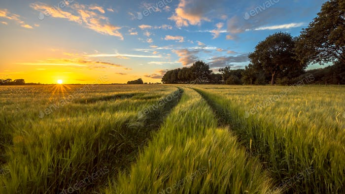 Tractor Track through Wheat field at sunset