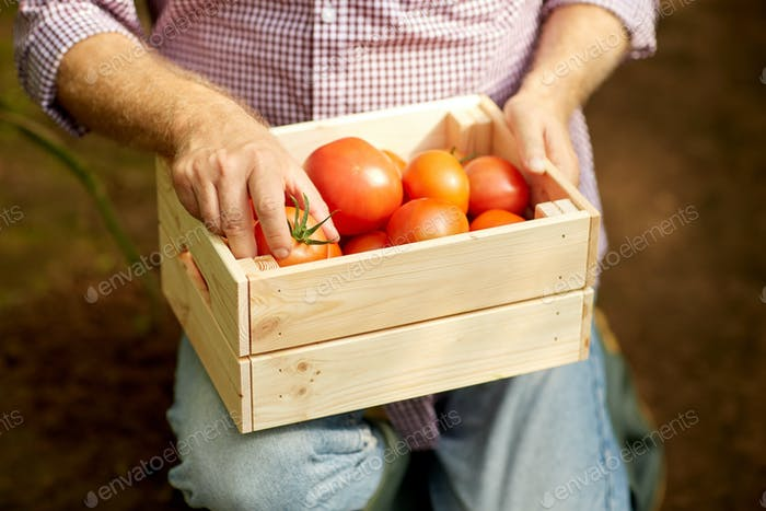 senior man or farmer with box of tomatoes at farm