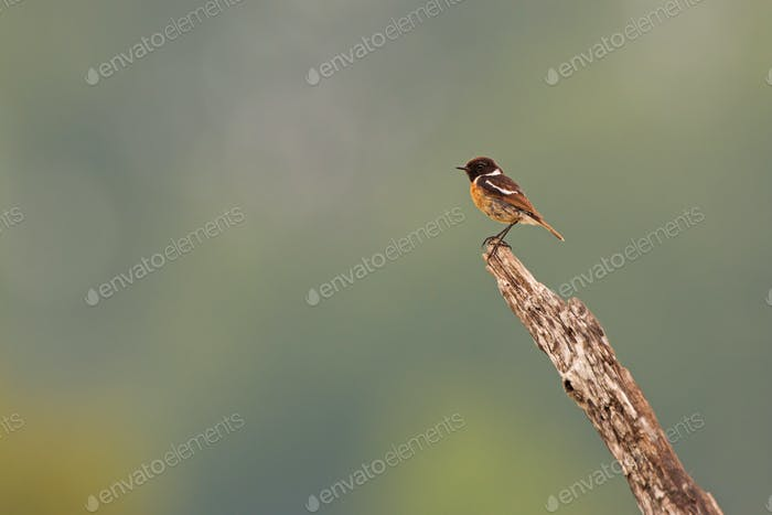 European stonechat sitting on the bought in the summer with space for copy