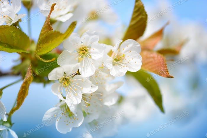 Flowers bloom on a branch of cherry against blue sky