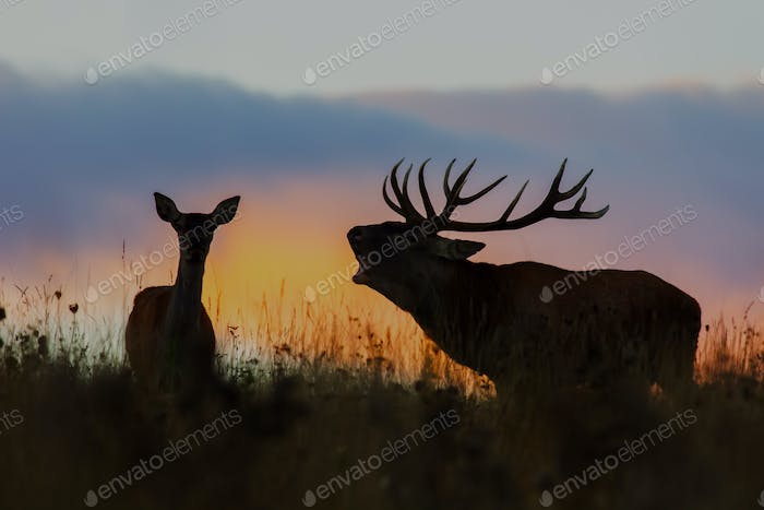 Red deer, cervus elaphus, couple during rutting season at night