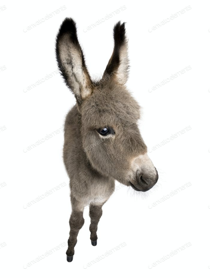 wide-angle view of a donkey foal (2 months)
