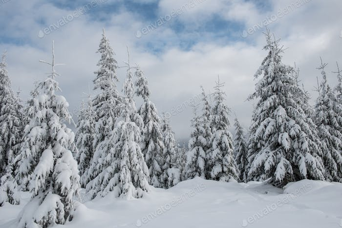 Winter wonderland, spruce tree forest covered with fresh snow