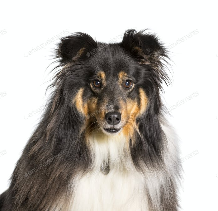 Close-up of Shetland Sheepdog dog, cut out