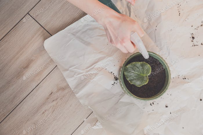 Woman splashes by water leaf of violet in pot at home. Flatlay, top view