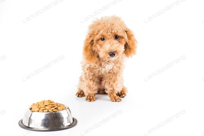 Uninterested poodle puppy next to a bowl of kibbles