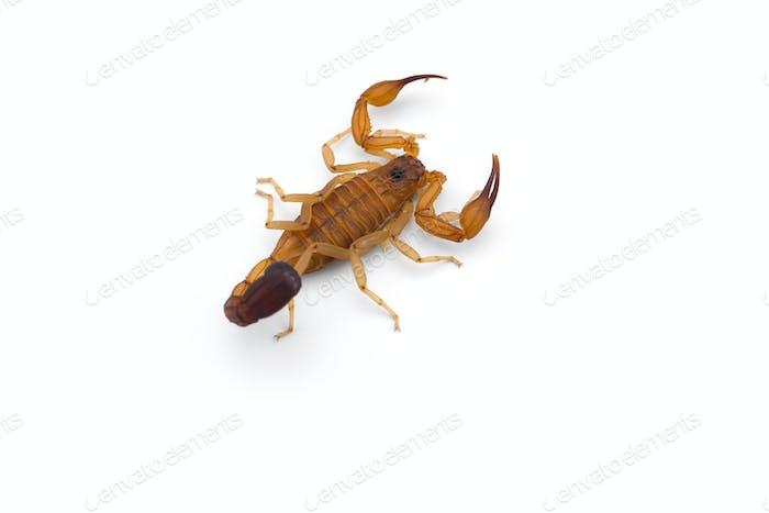 Gelbe tödlich gefährliche Skorpion Draufsicht isoliert auf weißem Hintergrund